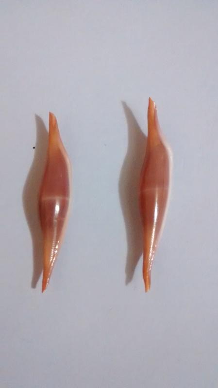 Phenacovolva roséa  Phenac10