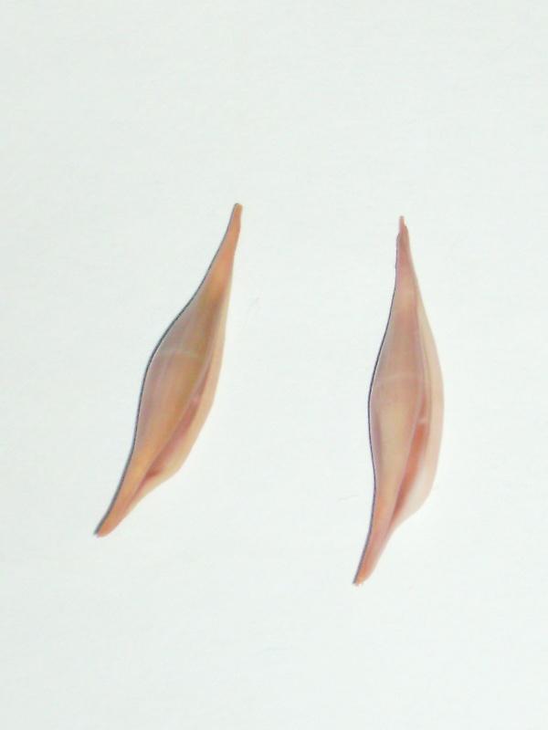 Phenacovolva roséa  Phenac11