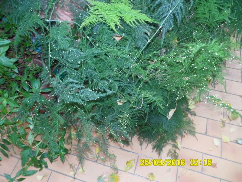 Asparagus setaceus (= Asparagus plumosus) Sam_0829