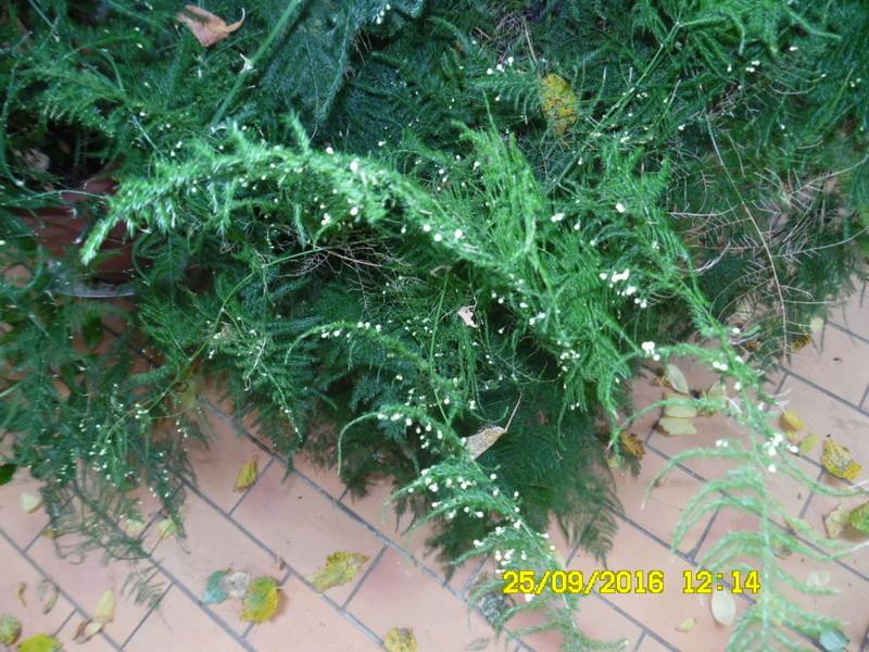 Asparagus setaceus (= Asparagus plumosus) Sam_0830