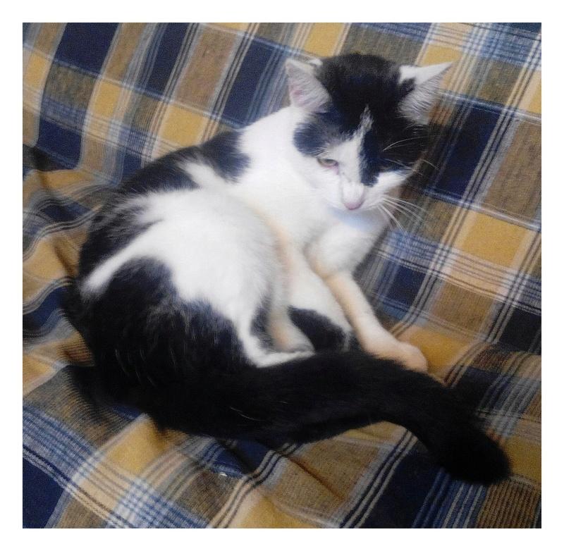 MACHA, très belle chatte junior de 8 mois, noire et blanche - Page 2 Img_2086