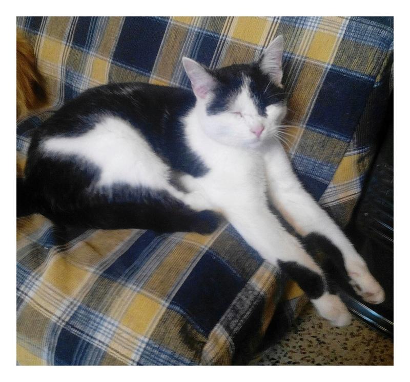 MACHA, très belle chatte junior de 8 mois, noire et blanche - Page 2 Img_2088