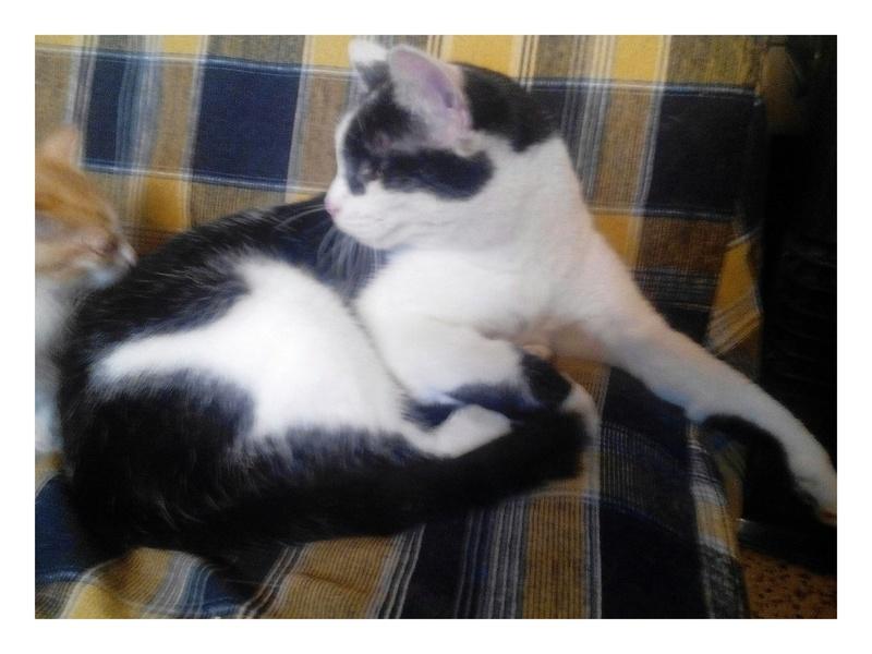 MACHA, très belle chatte junior de 8 mois, noire et blanche - Page 2 Img_2089
