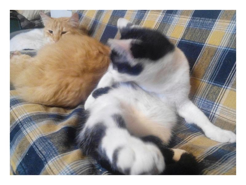 MACHA, très belle chatte junior de 8 mois, noire et blanche - Page 2 Img_2090