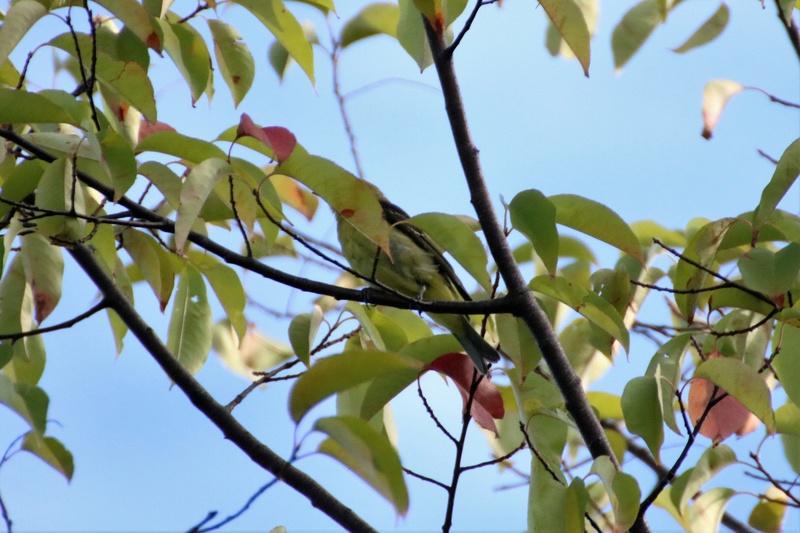 Oiseau mystère Img_7313