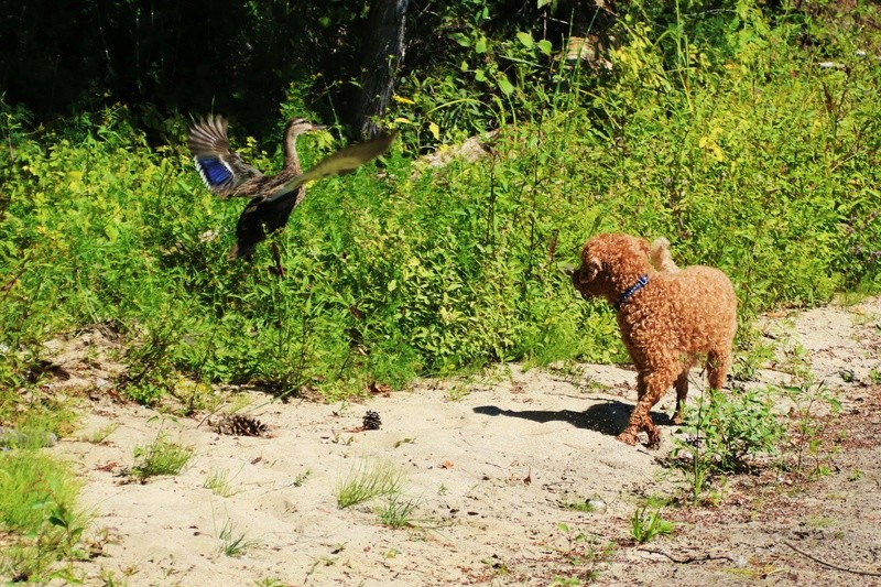 Interaction entre chien et canard Nymo_f10