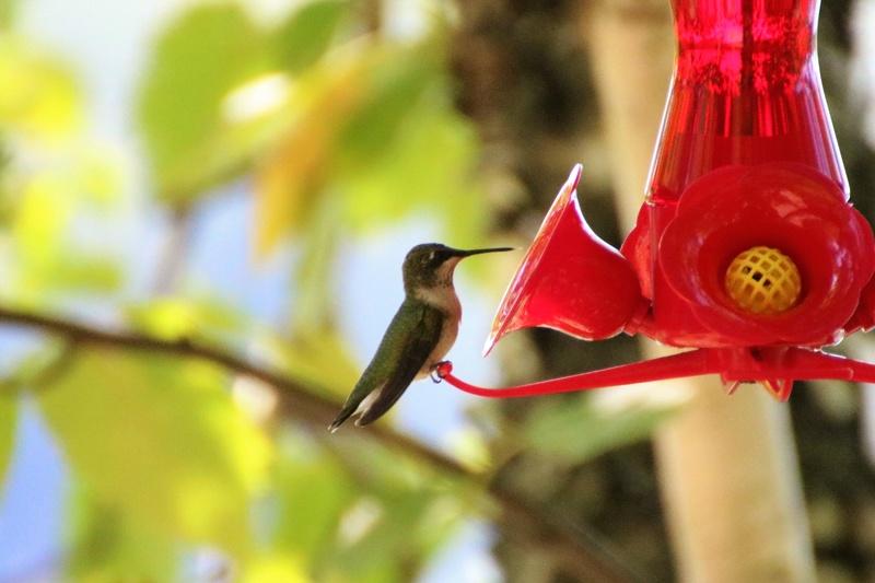 Colibri à gorge rubis Superb18