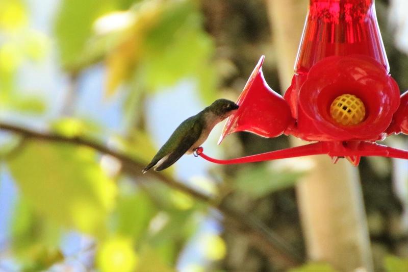 Colibri à gorge rubis Superb19