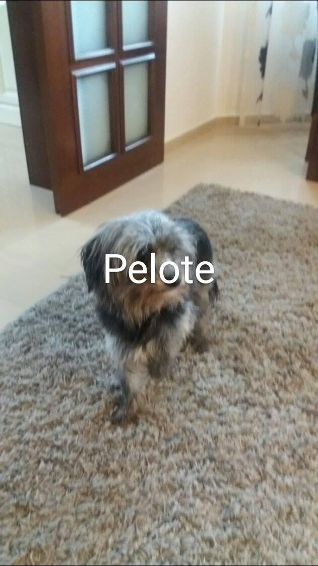 PELOTE, née en 2011, femelle, taille petite croisée yorkshire et ses 2 chiots (Pascani)- chez Marusia - Adoptée par Isabelle (depart57) - DECEDEE - Page 2 14647310