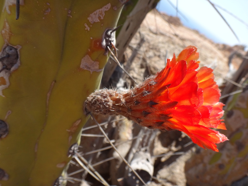 Corryocactus brachypetalus  Dsc02815