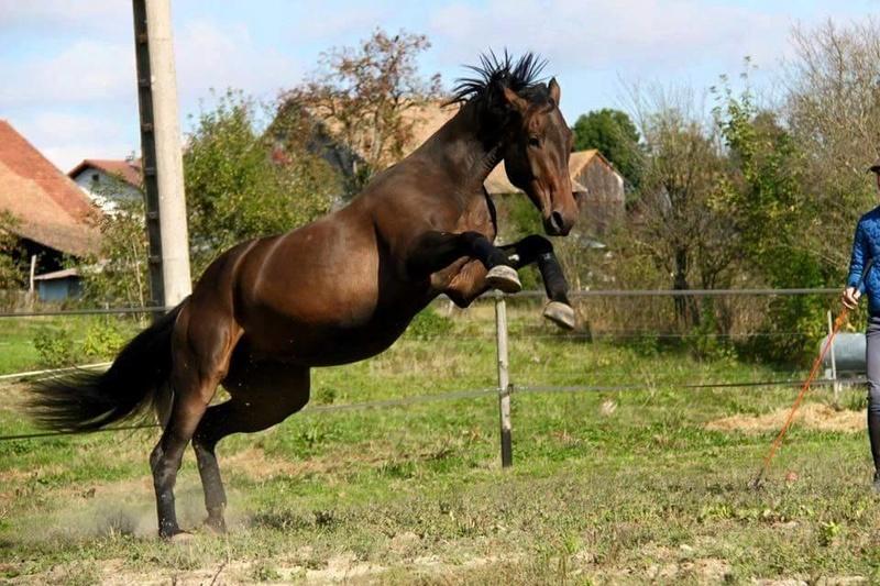 CHERCHEUR DE VERNAY - cheval de sport belge de 2008 - Page 2 Che610