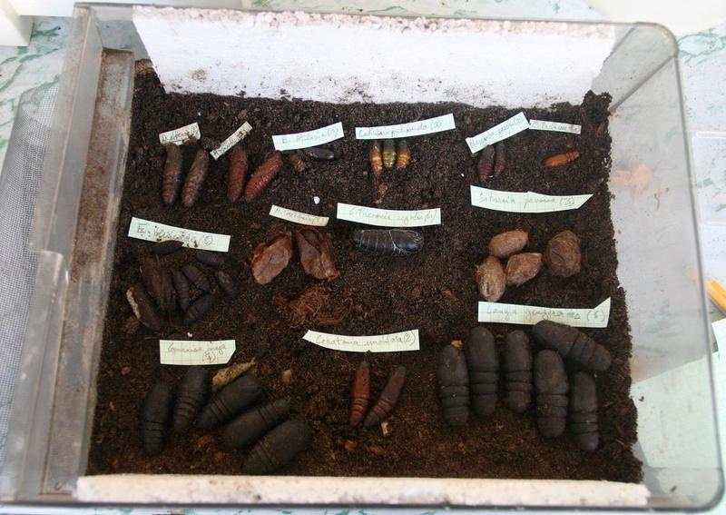 Conservation des chrysalides/cocons hivernants 110