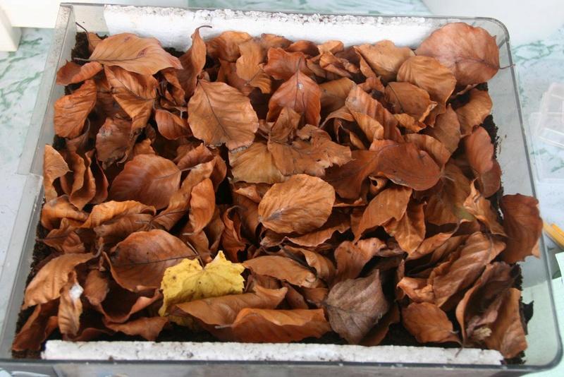 Conservation des chrysalides/cocons hivernants 410