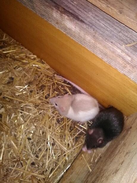 URGENT sauvetage de 18 ratons  14743010