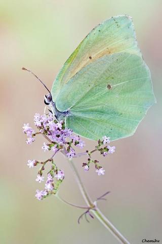 Nos amis les papillons (symbolique) - Page 3 Fedf2611