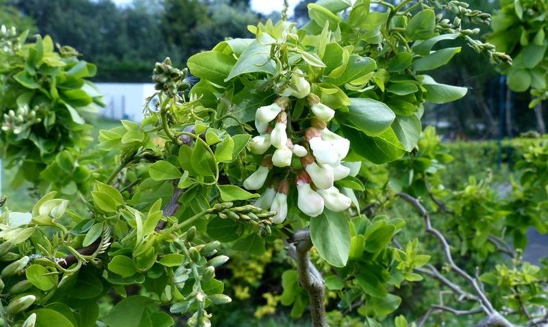 Albizia julibrissin - arbre à soie  - Page 2 P1030312