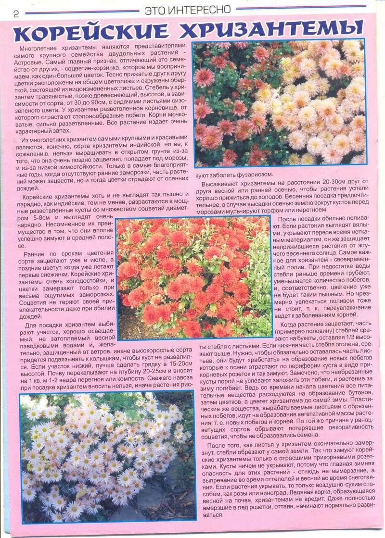 хризантема 0_6b6b10