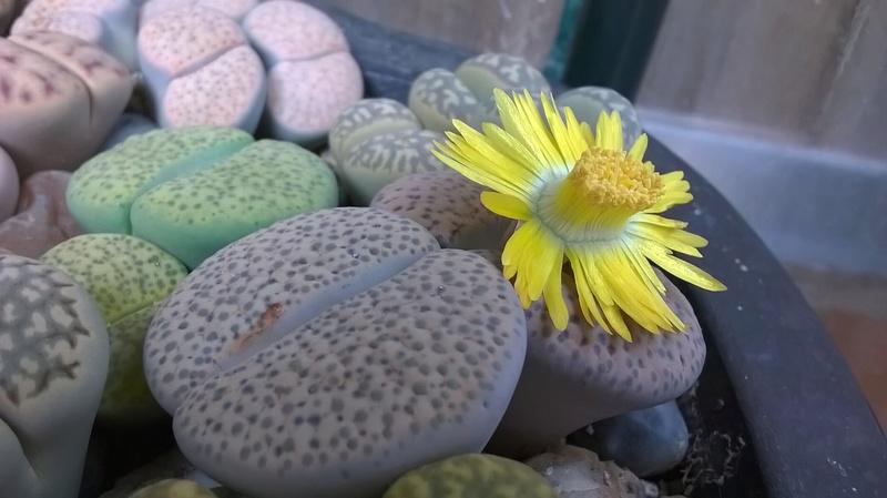 Fleurs de Lithops Wp_20124
