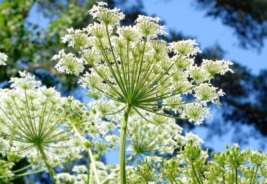 A - Herbs...... Angeli10