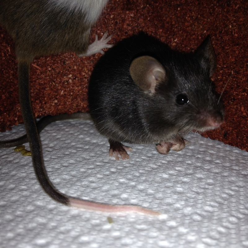 how to keep a wild mouse as a pet