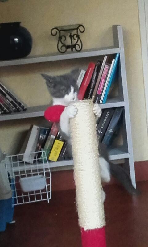 malcom - Malcom - chaton male gris et blanc - type européen né en juin 2016 20160911