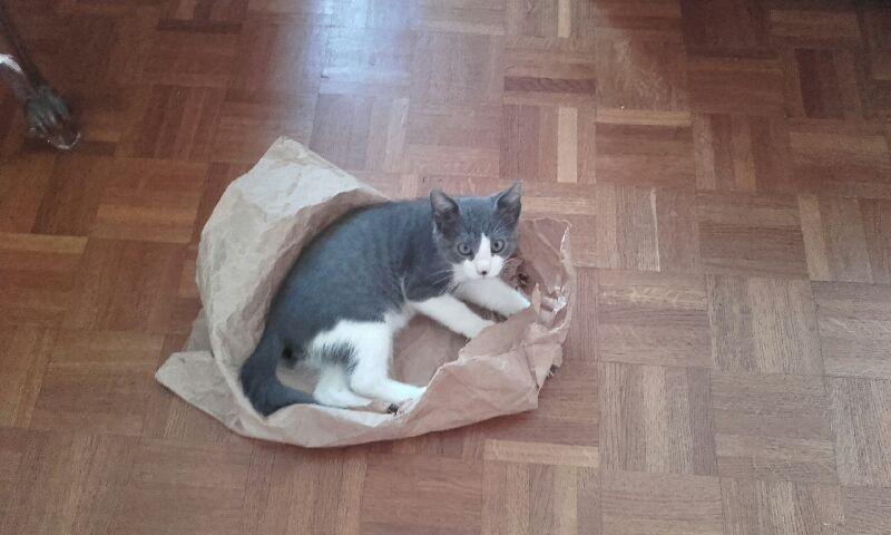 malcom - Malcom - chaton male gris et blanc - type européen né en juin 2016 20160912