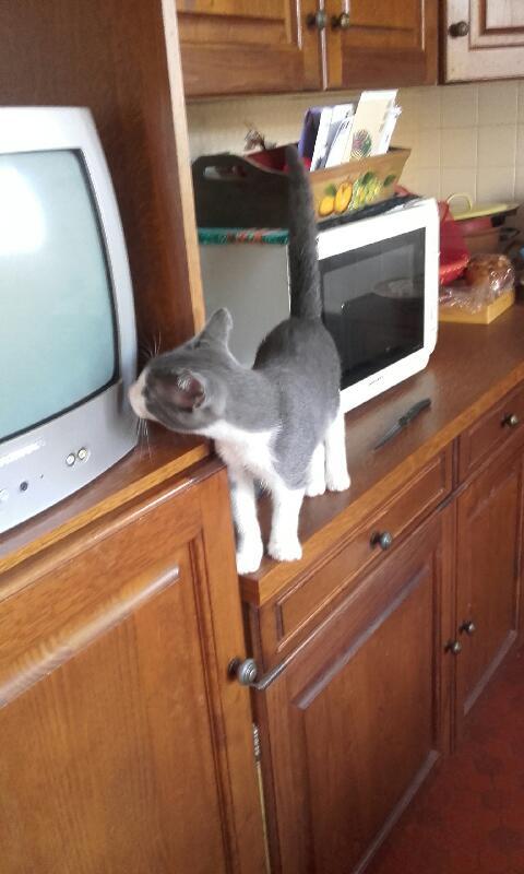 malcom - Malcom - chaton male gris et blanc - type européen né en juin 2016 20161014