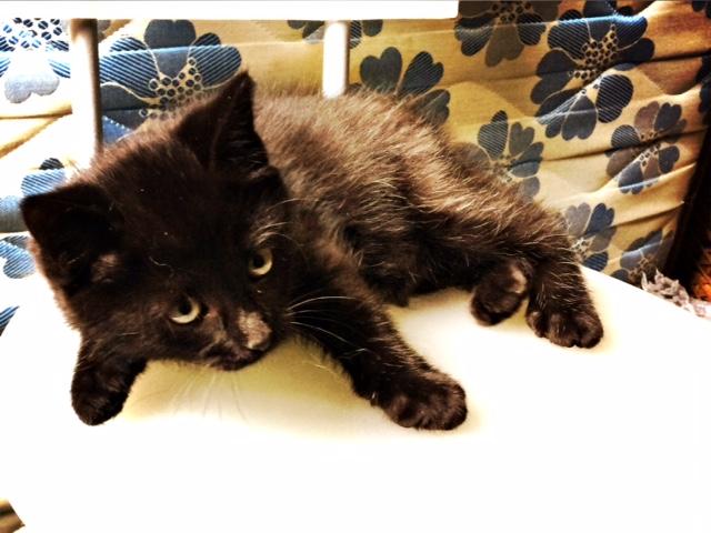 moti - MOTI, chaton noir, poils mi-longs, né le 15/08/16 Fullsi14