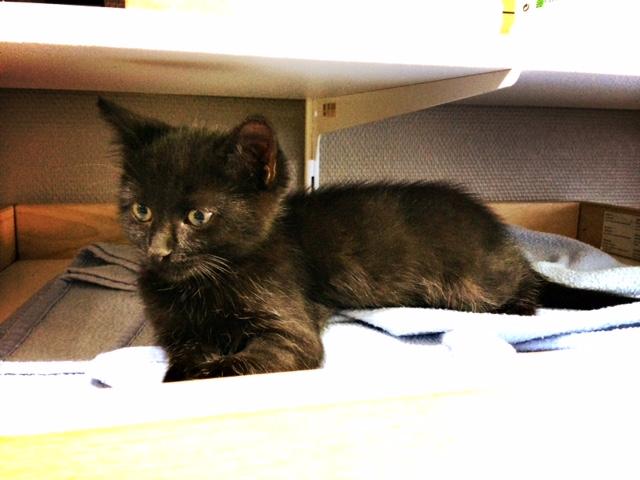 moti - MOTI, chaton noir, poils mi-longs, né le 15/08/16 Fullsi15