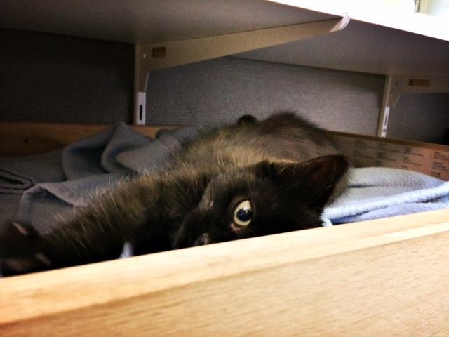 moti - MOTI, chaton noir, poils mi-longs, né le 15/08/16 Fullsi16