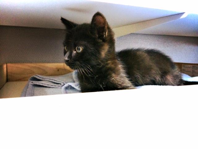 moti - MOTI, chaton noir, poils mi-longs, né le 15/08/16 Fullsi17