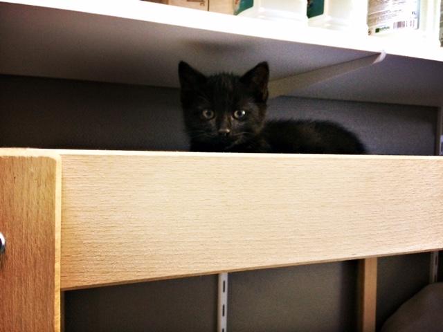 moti - MOTI, chaton noir, poils mi-longs, né le 15/08/16 Fullsi21