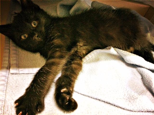 moti - MOTI, chaton noir, poils mi-longs, né le 15/08/16 Fullsi22