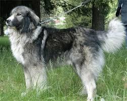 SARRA, croisée berger des Carpates née en 2014 - Parrainée par Dankesori -SC-R-SOS- Sexy-a10