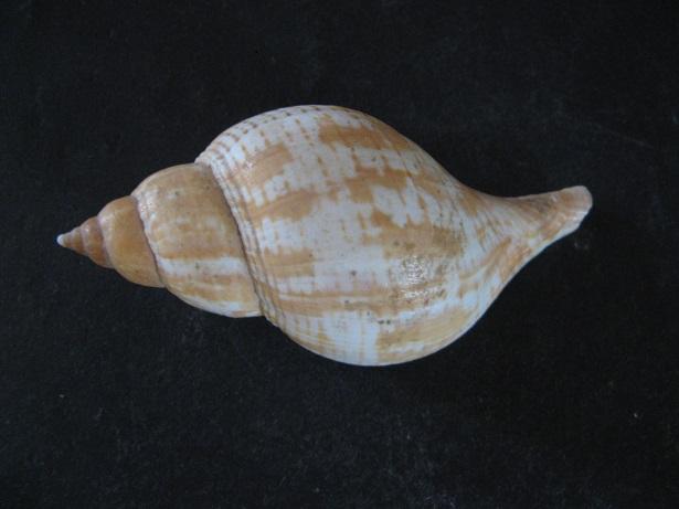 Fasciolaria tulipa - (Linnaeus, 1758) Img_5612