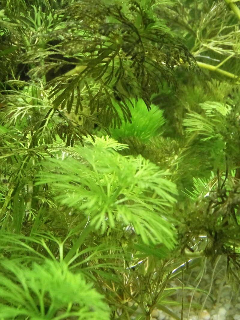 Cabomba et algue  Img_2010