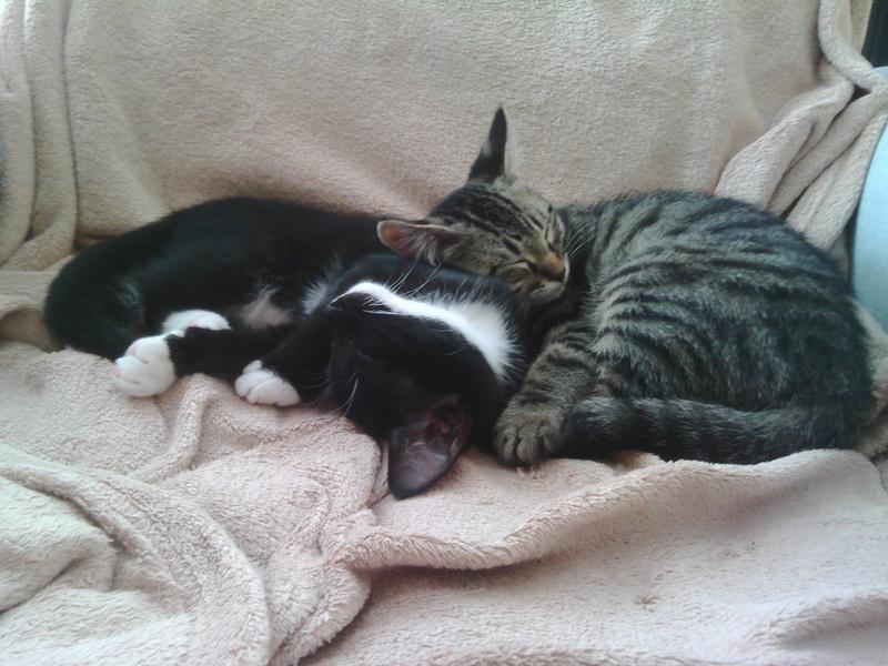 monello - Monello, chaton européen noir et blanc, né en mai 2016 Img_2010