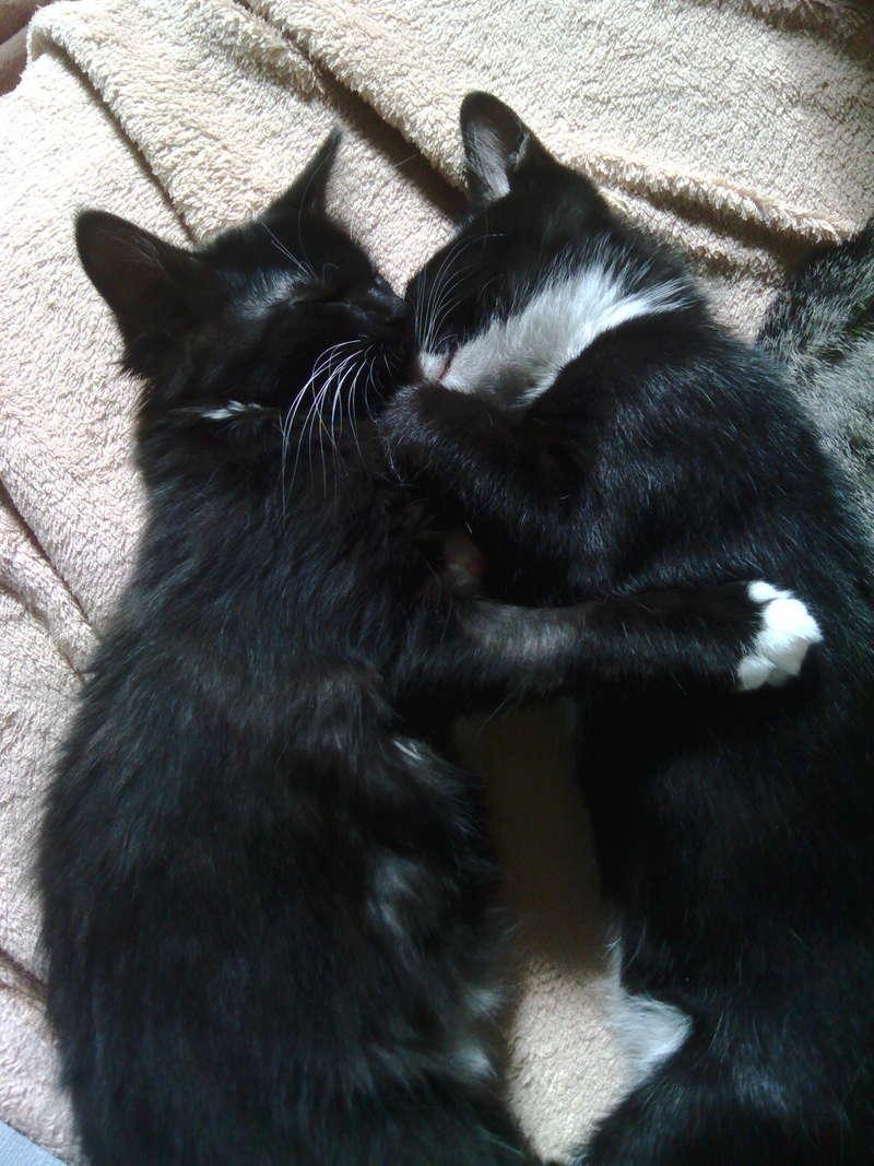 monello - Monello, chaton européen noir et blanc, né en mai 2016 Img_2013
