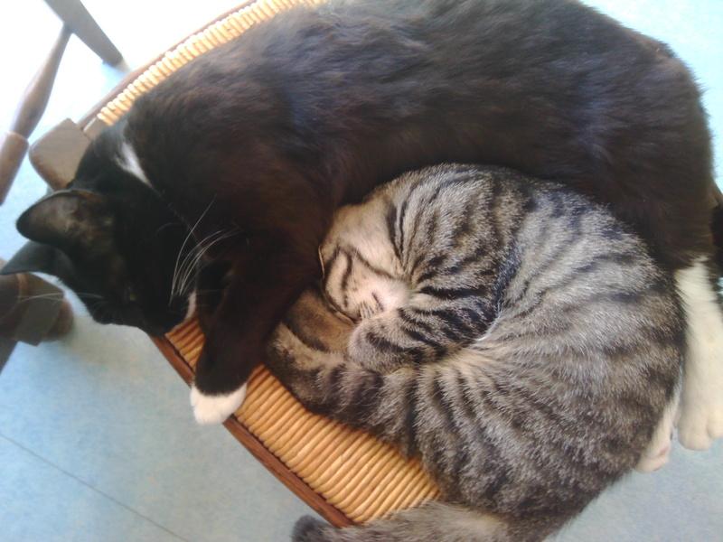 milano - Milano, chaton européen gris tigré, né en mai 2016 Img_2014