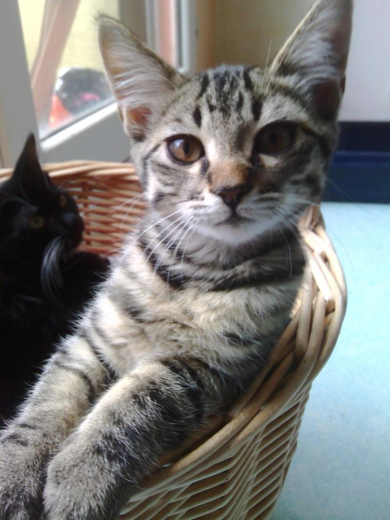 milano - Milano, chaton européen gris tigré, né en mai 2016 Img_2016