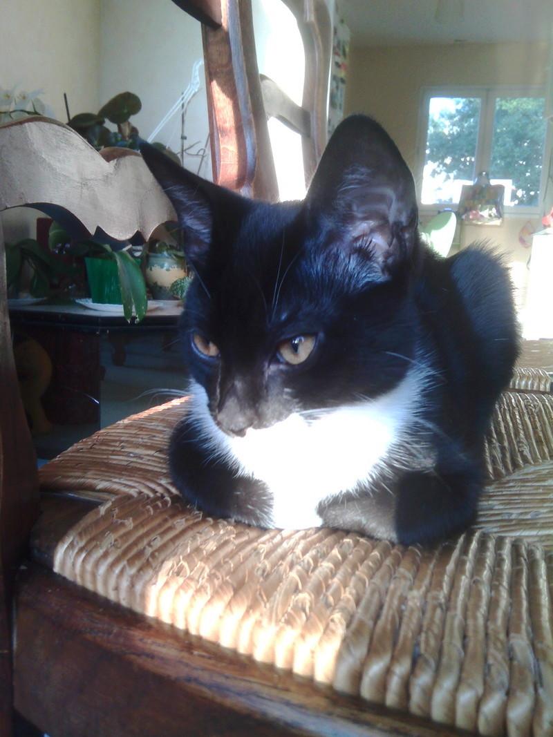 monello - Monello, chaton européen noir et blanc, né en mai 2016 Img_2026