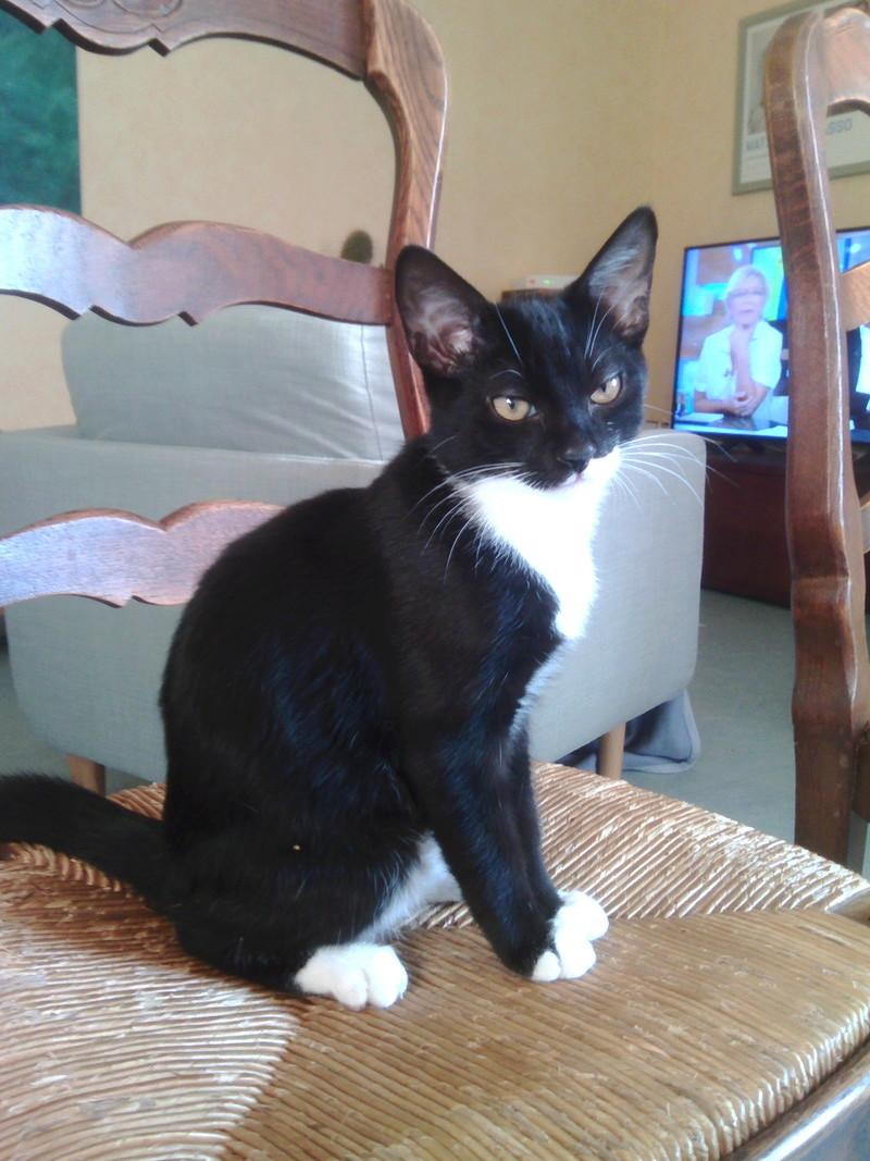 monello - Monello, chaton européen noir et blanc, né en mai 2016 Img_2027