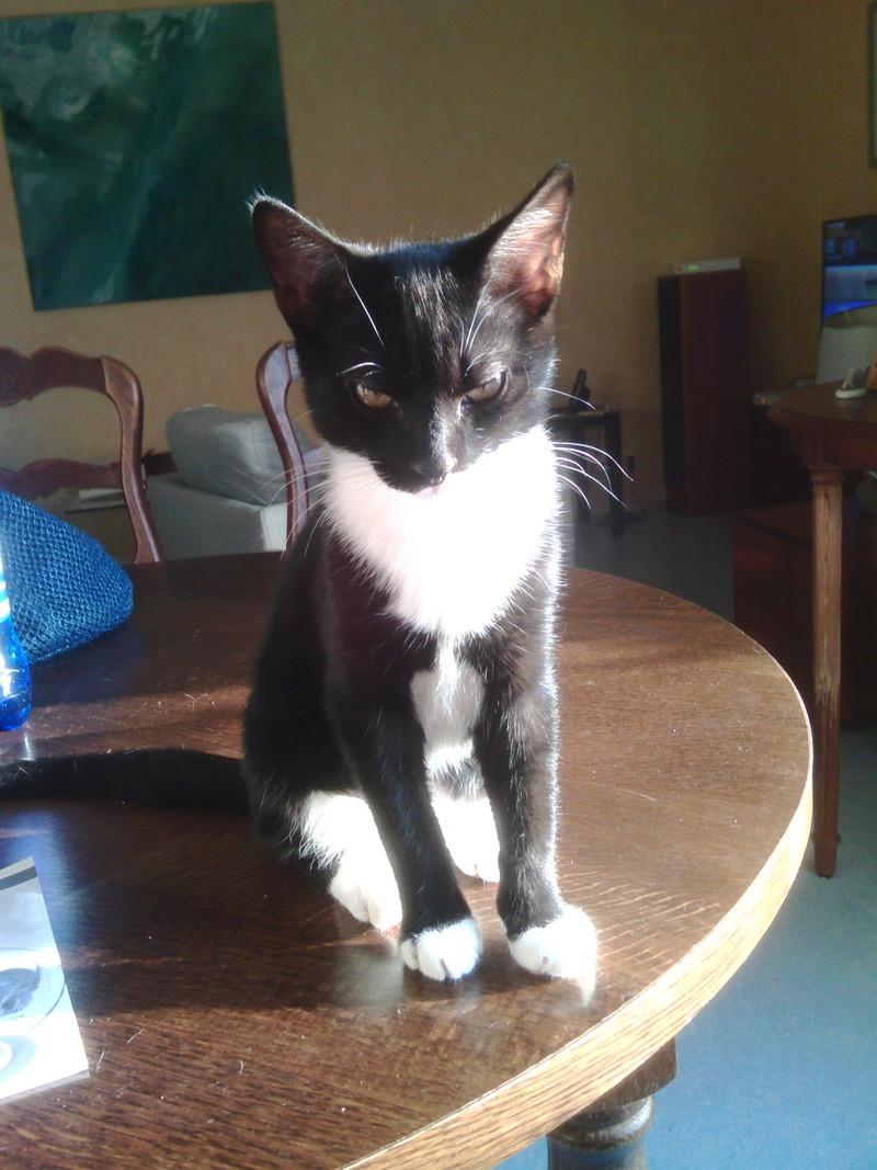 monello - Monello, chaton européen noir et blanc, né en mai 2016 Img_2028