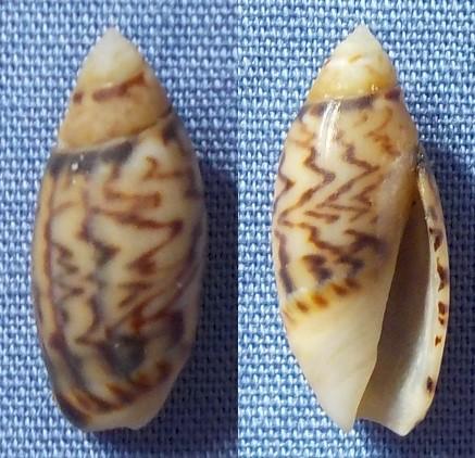 Petite coquille des Canaries à identifier 15mm_o10