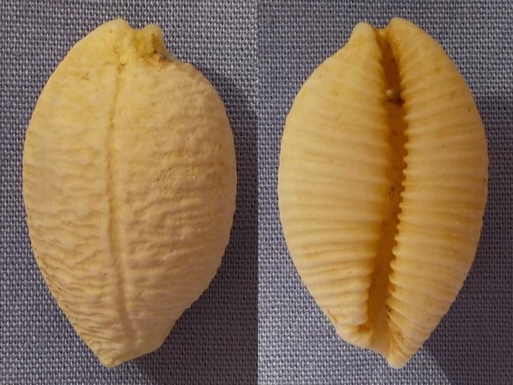 Cypraea à identifier 26mm_n10