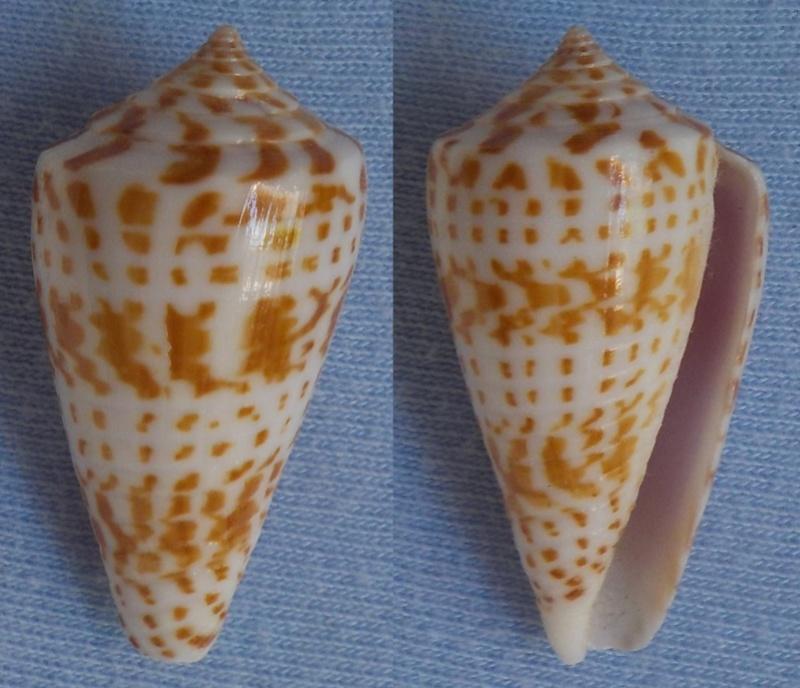 Conus (Phasmoconus) inscriptus  Reeve, 1845 - Page 2 Cone_310