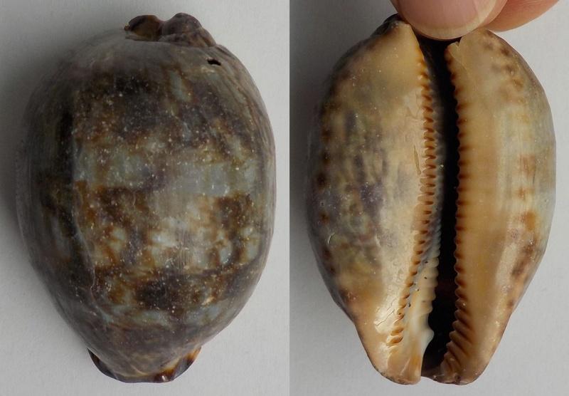 Grosse cypraea à identifier Grosse10