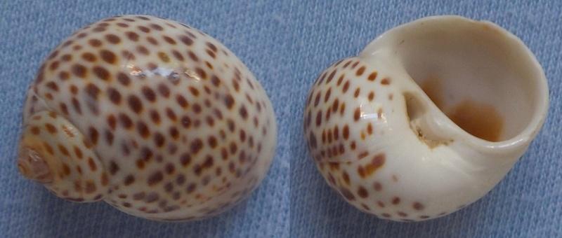 Notocochlis tigrina - (Röding, 1798) Natice10