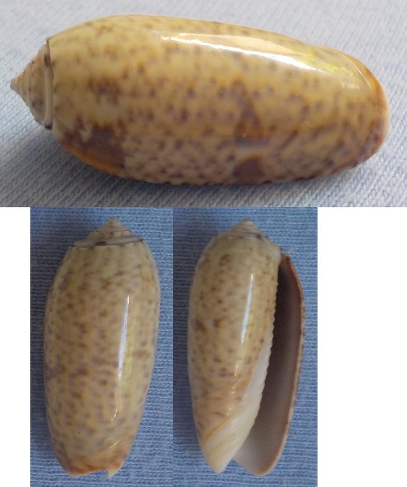 Oliva (Miniaceoliva) hirasei, Kira 1959 Olive_10