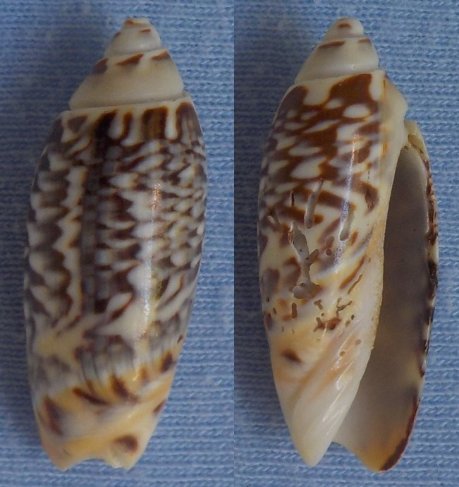 Agaronia (Anazola) gibbosa, Born 1778 Olive_11